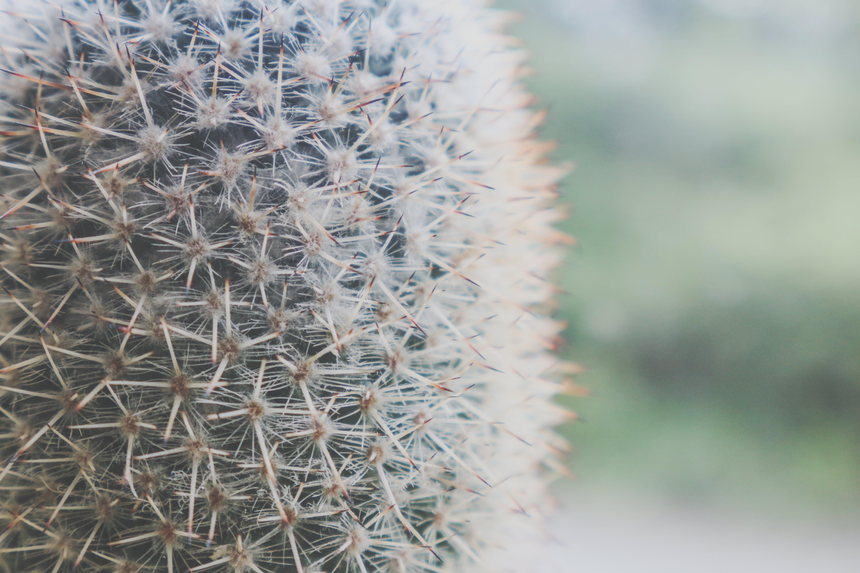 Darmowe zdjęcie z galerii z botaniczny, ciernie, flora, kaktus