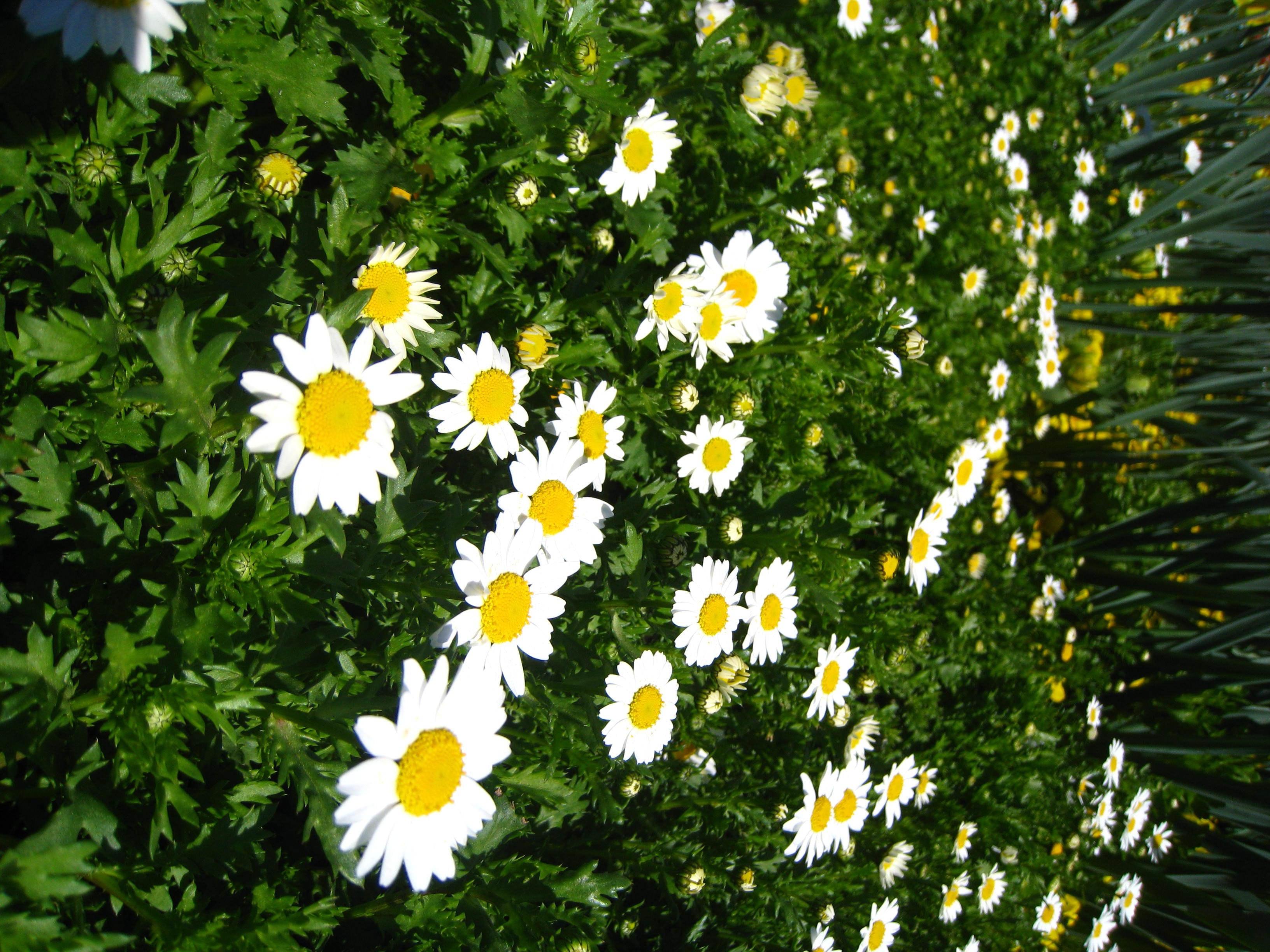 Free stock photo of beautiful flowers beauty daisies free download izmirmasajfo