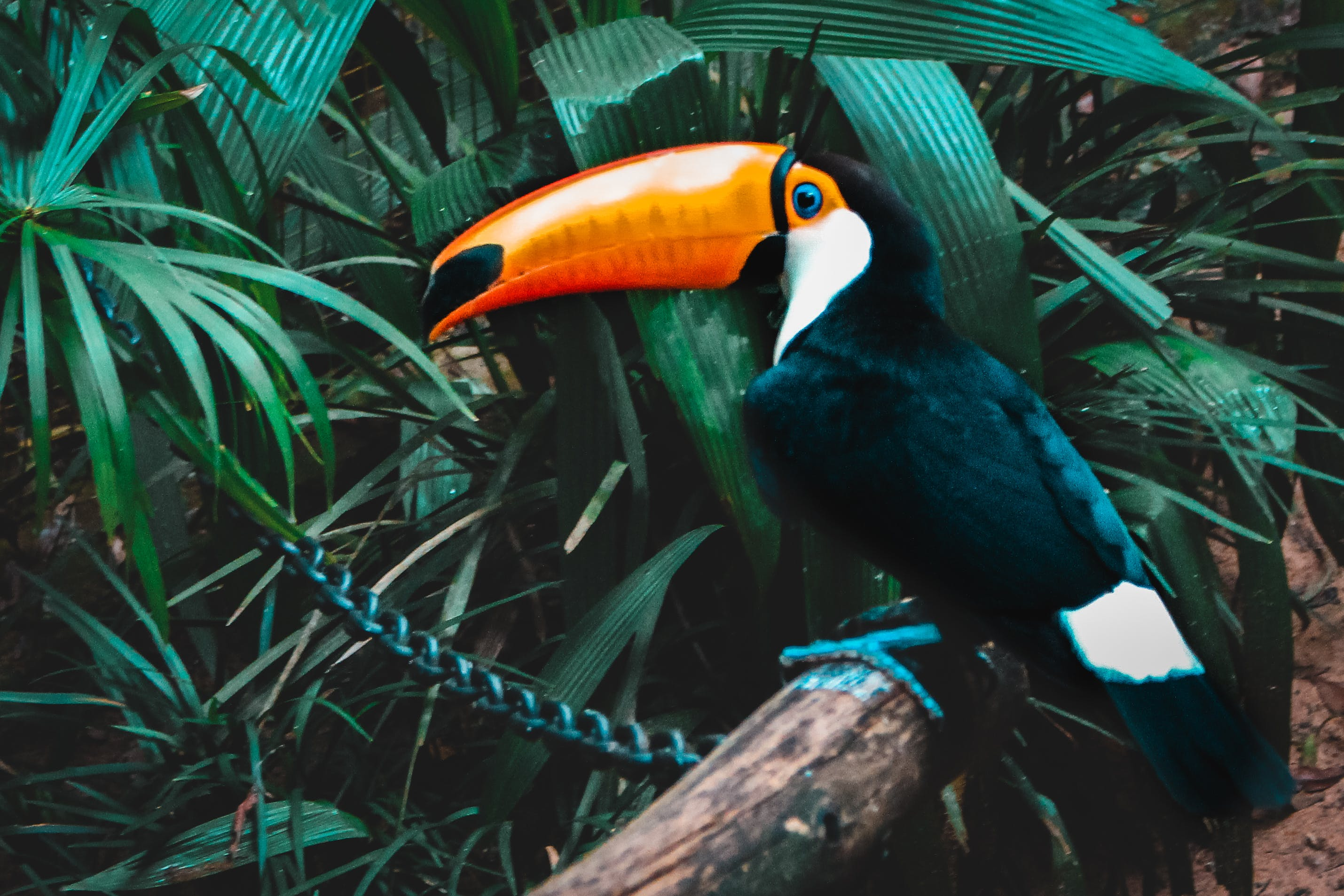 Selective Focus Photo Of Toco Toucan Perched