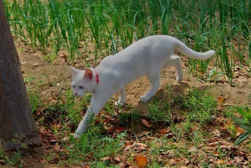 Photos gratuites de beaux yeux, chat, chat blanc, yeux bleus