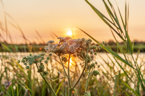 Free stock photo of flower, golden hour, nature, sunset