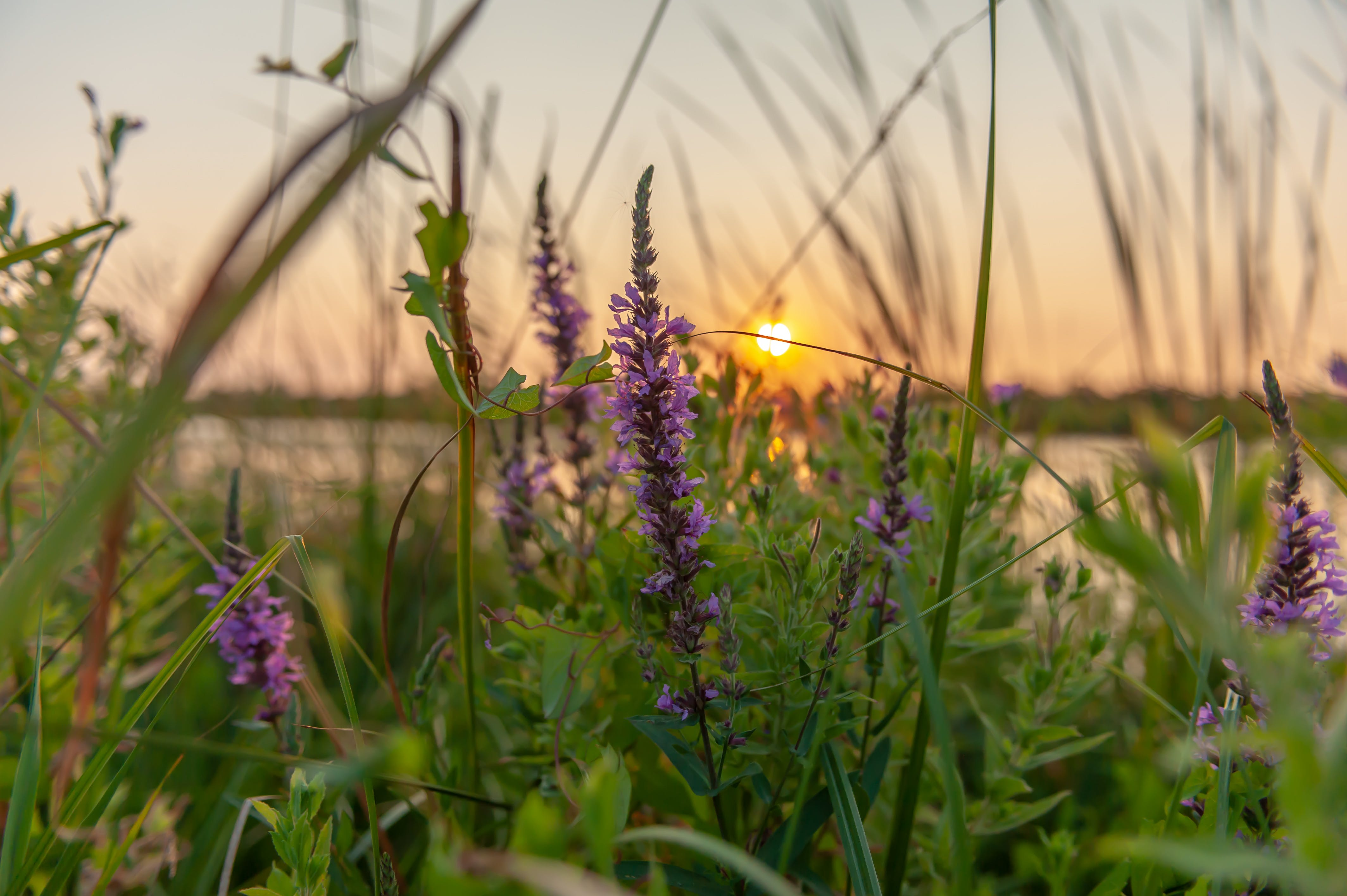 Purple Lavender Flowers Selective-focus Photography at Sunset