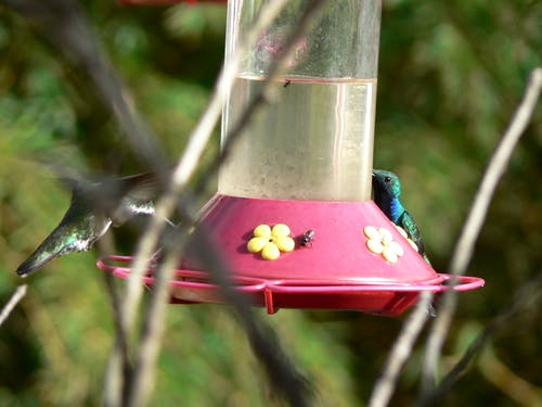 Free stock photo of colibri, colibries, colombia, hummingbird