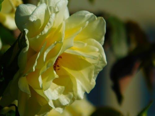 คลังภาพถ่ายฟรี ของ สีเหลือง, เบ่งบาน, แมโคร