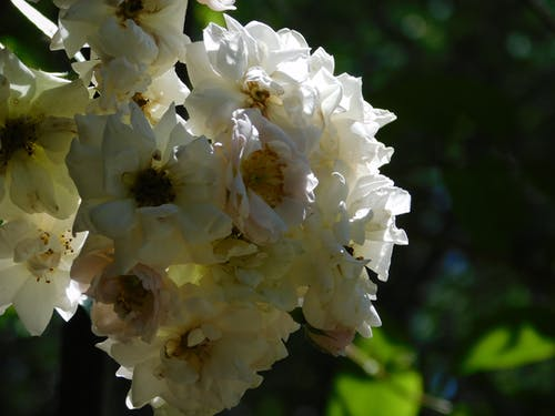 คลังภาพถ่ายฟรี ของ ขาว, ดอกไม้, ธรรมชาติ