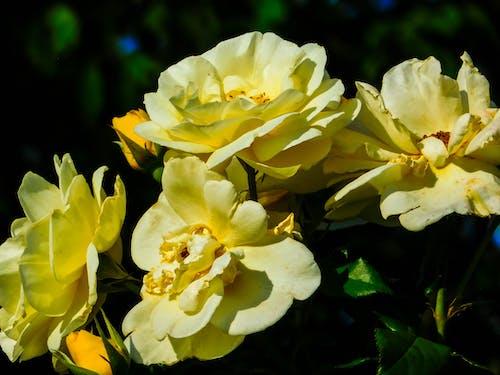 คลังภาพถ่ายฟรี ของ ดอกไม้, ธรรมชาติ, สีเหลือง