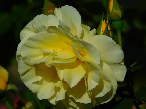 คลังภาพถ่ายฟรี ของ ธรรมชาติ, สีเหลือง, เบ่งบาน, แมโคร