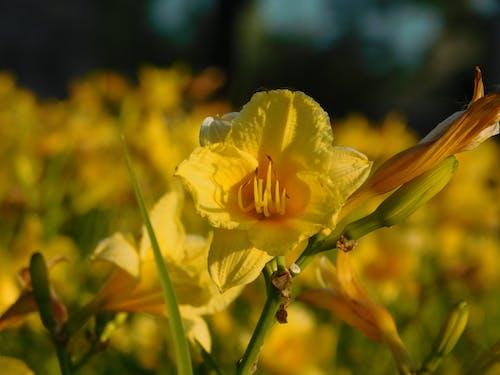 คลังภาพถ่ายฟรี ของ ดอกไม้, สีเหลือง
