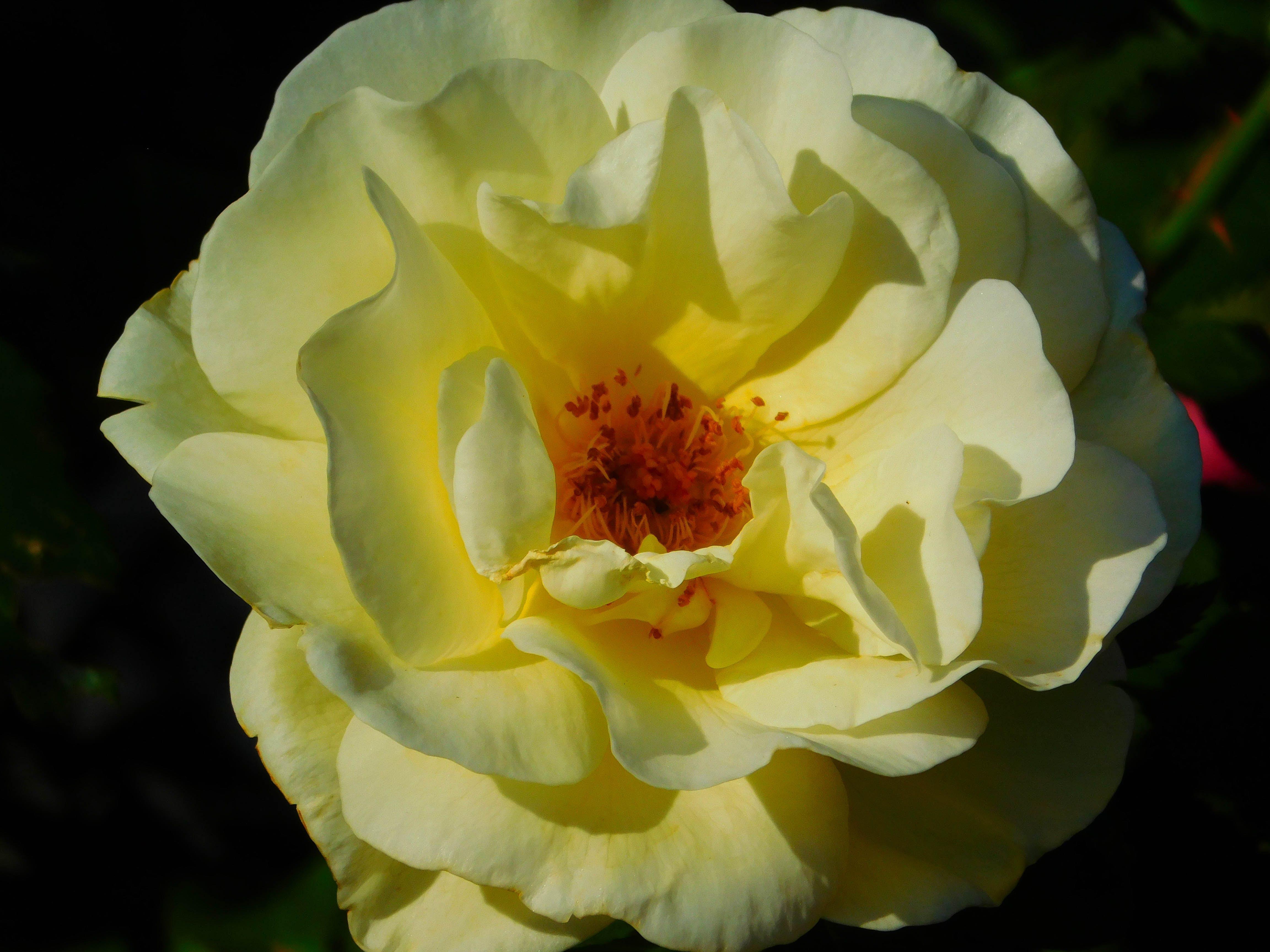 Free stock photo of nature, yellow, flower, macro