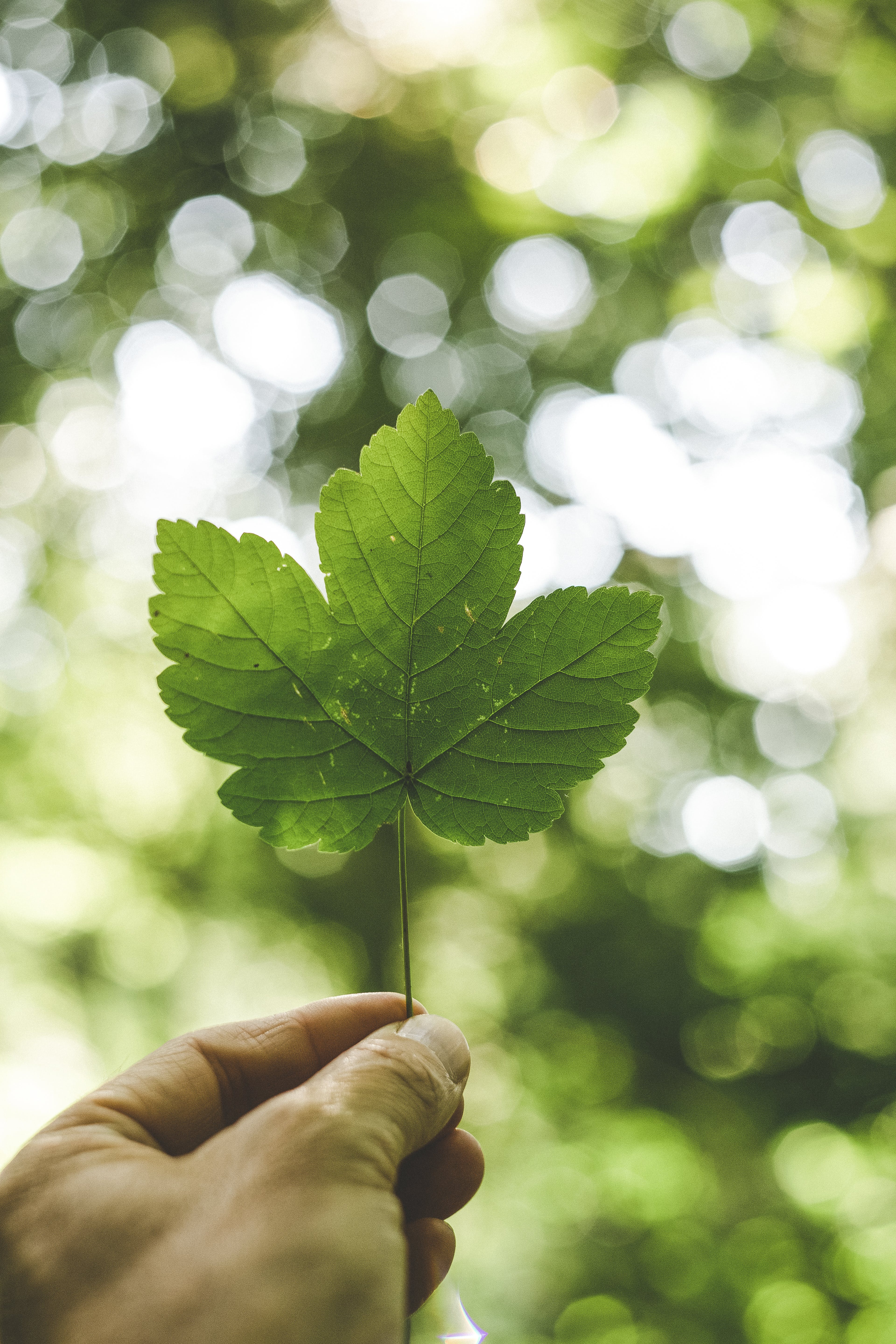 Person Holding Green Palmate Leaf With Bokeh Background