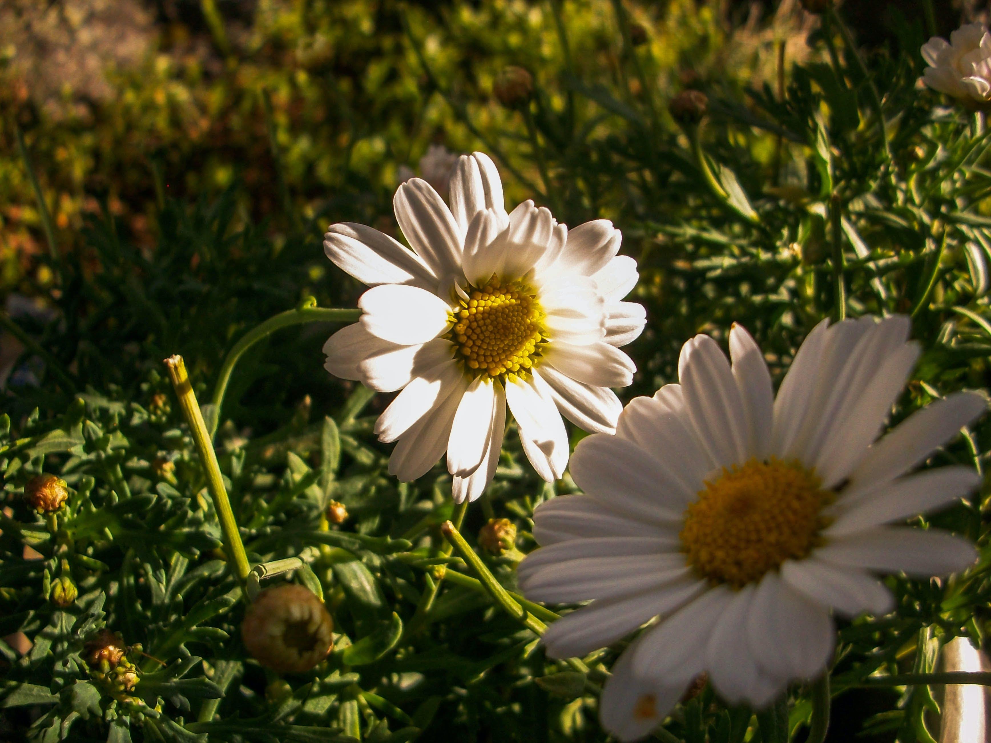 Free stock photo of summer, flower