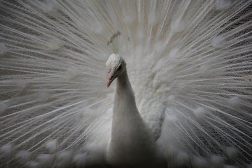 Free stock photo of peacock, white