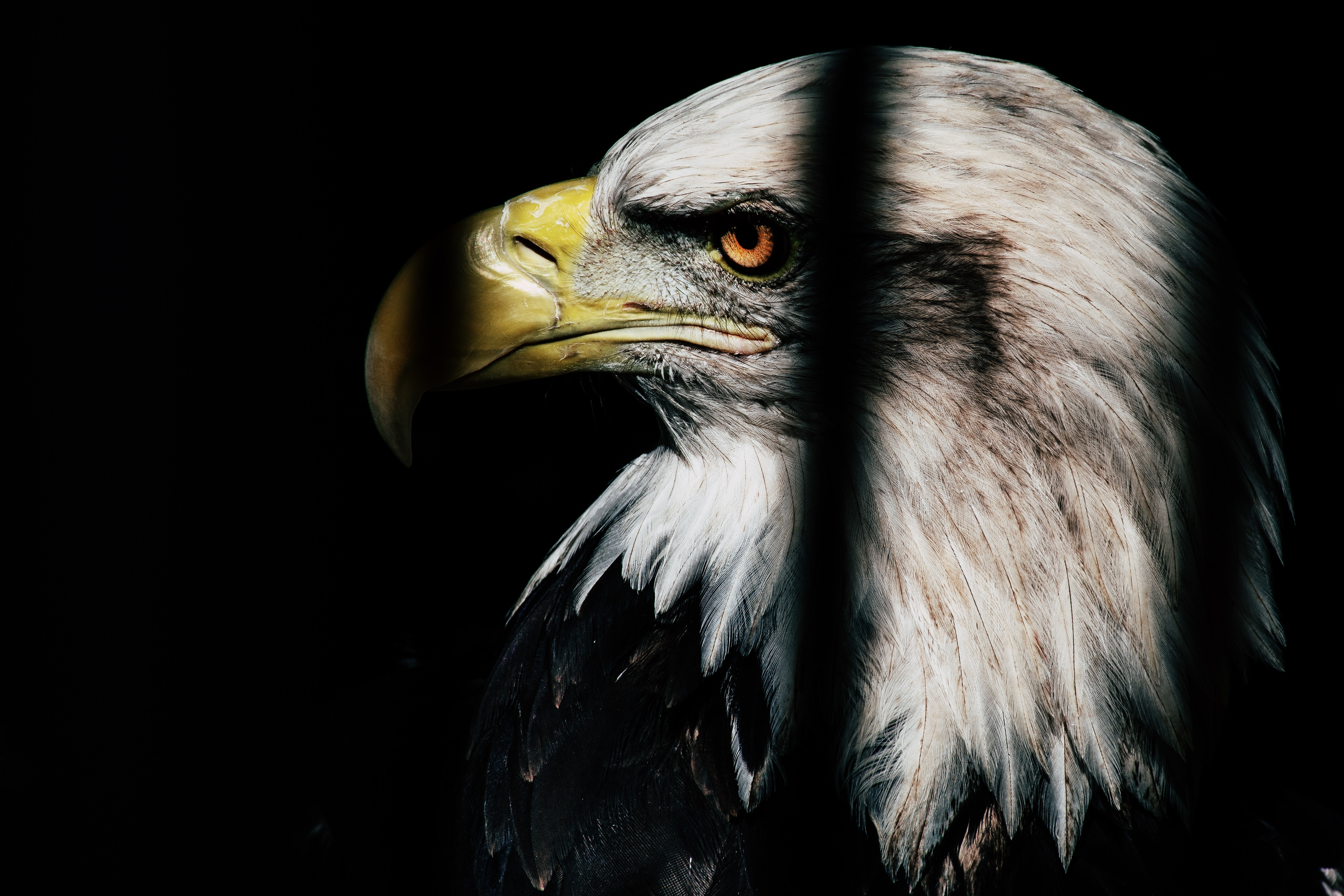 Close Up Photo Of Black And White Eagle Free Stock Photo