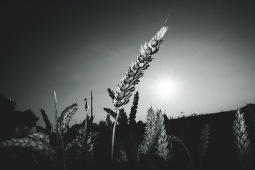 Foto d'estoc gratuïta de blanc i negre, blat, camp, camp de blat