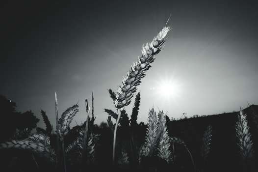Gray-scale Landscape Photograph of Field of Wheat