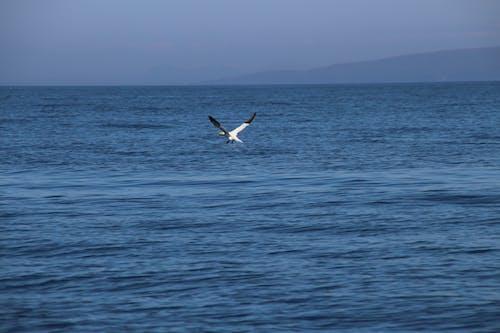 Foto stok gratis air biru, gannet, gannet terbang, langit