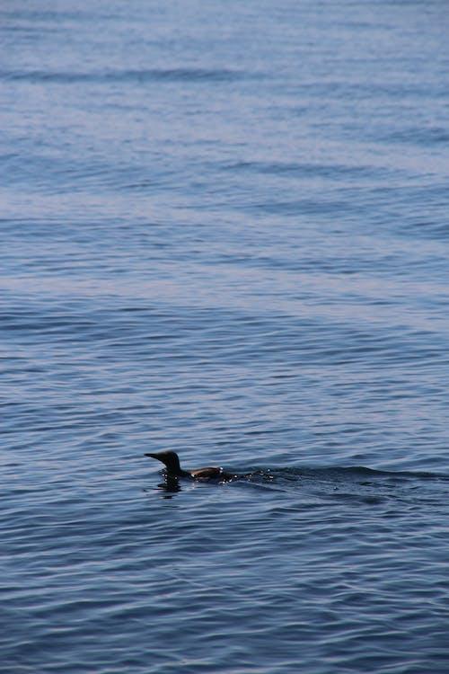 คลังภาพถ่ายฟรี ของ กระเพื่อม, นกว่ายน้ำ, น้ำ, น้ำสีฟ้า
