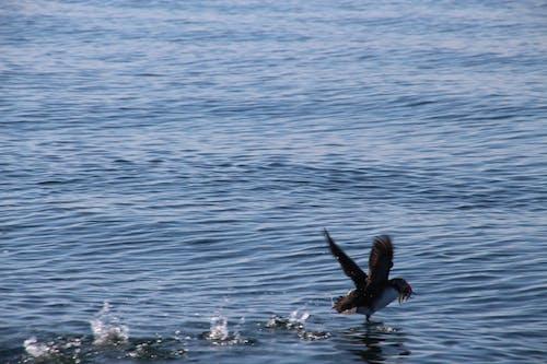 คลังภาพถ่ายฟรี ของ กระเด็น, การบิน, ท้องฟ้าสีคราม, นกตกปลา
