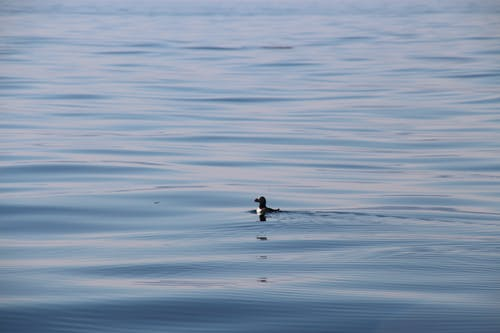 Free stock photo of blue water, calm water, puffin, reflective