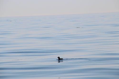 Foto stok gratis air, air biru, air yang tenang, burung air