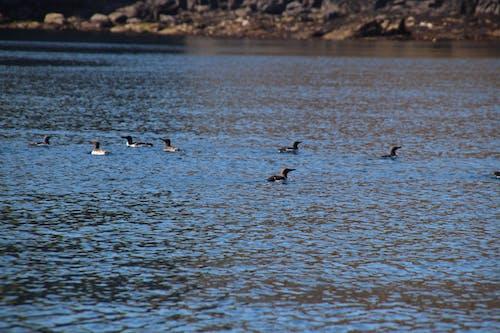 Foto stok gratis air, air yang tenang, batu, burung air