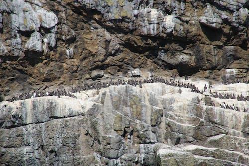 Foto stok gratis burung bersarang, koloni burung, putih, Skotlandia