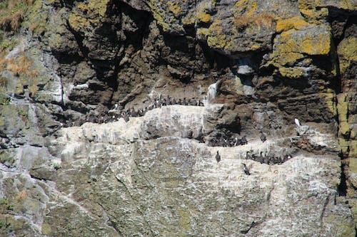 Free stock photo of bird colony, cliff face, Mossy rocks, nesting birds
