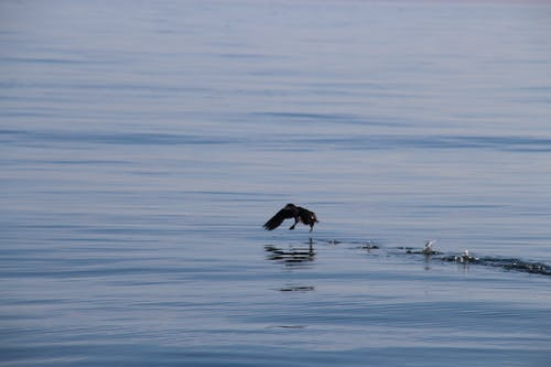Free stock photo of calm waters, flying, puffin, reflection