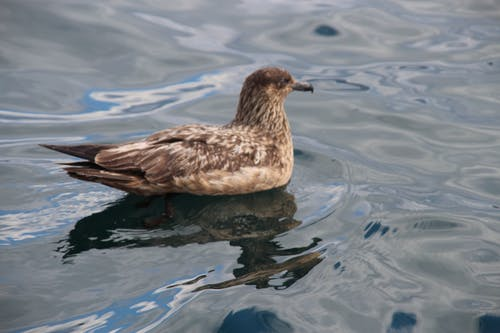 Free stock photo of reflective water, ripples, skua, water