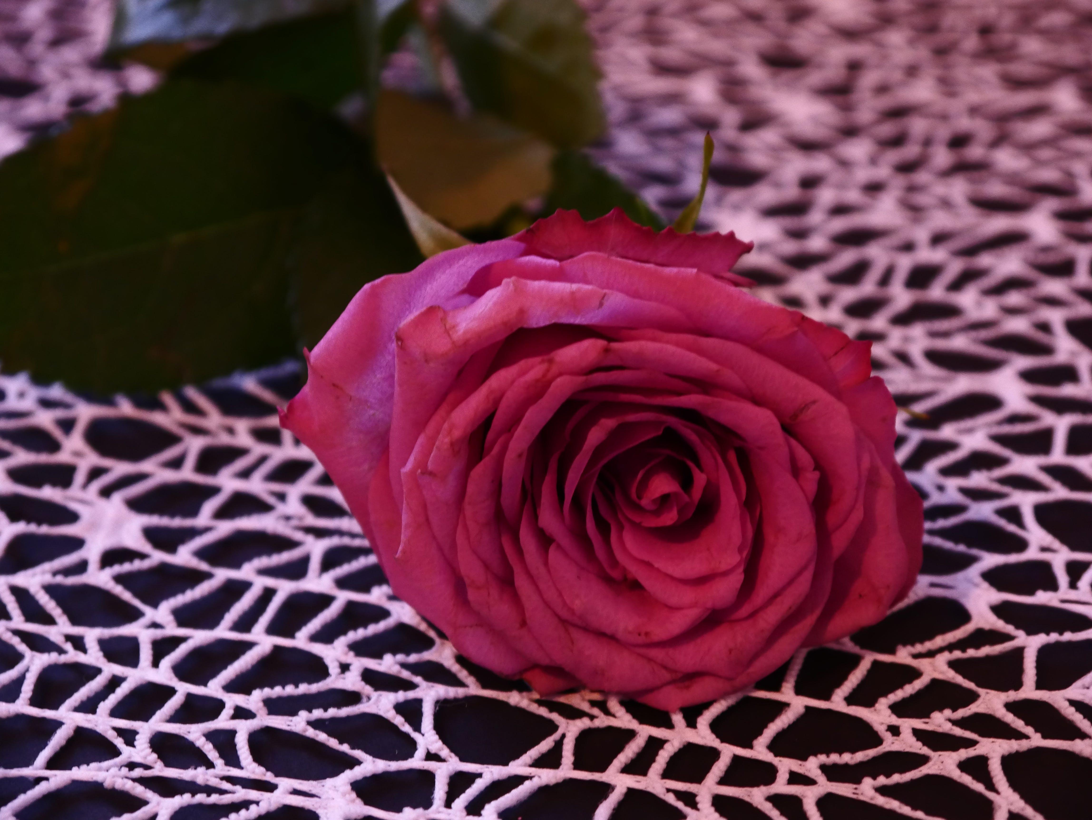 Free stock photo of flower, flowering, pink, rose