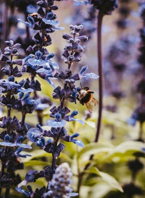Ilmainen kuvapankkikuva tunnisteilla aromaattinen, hyönteinen, kasvikunta, kukat