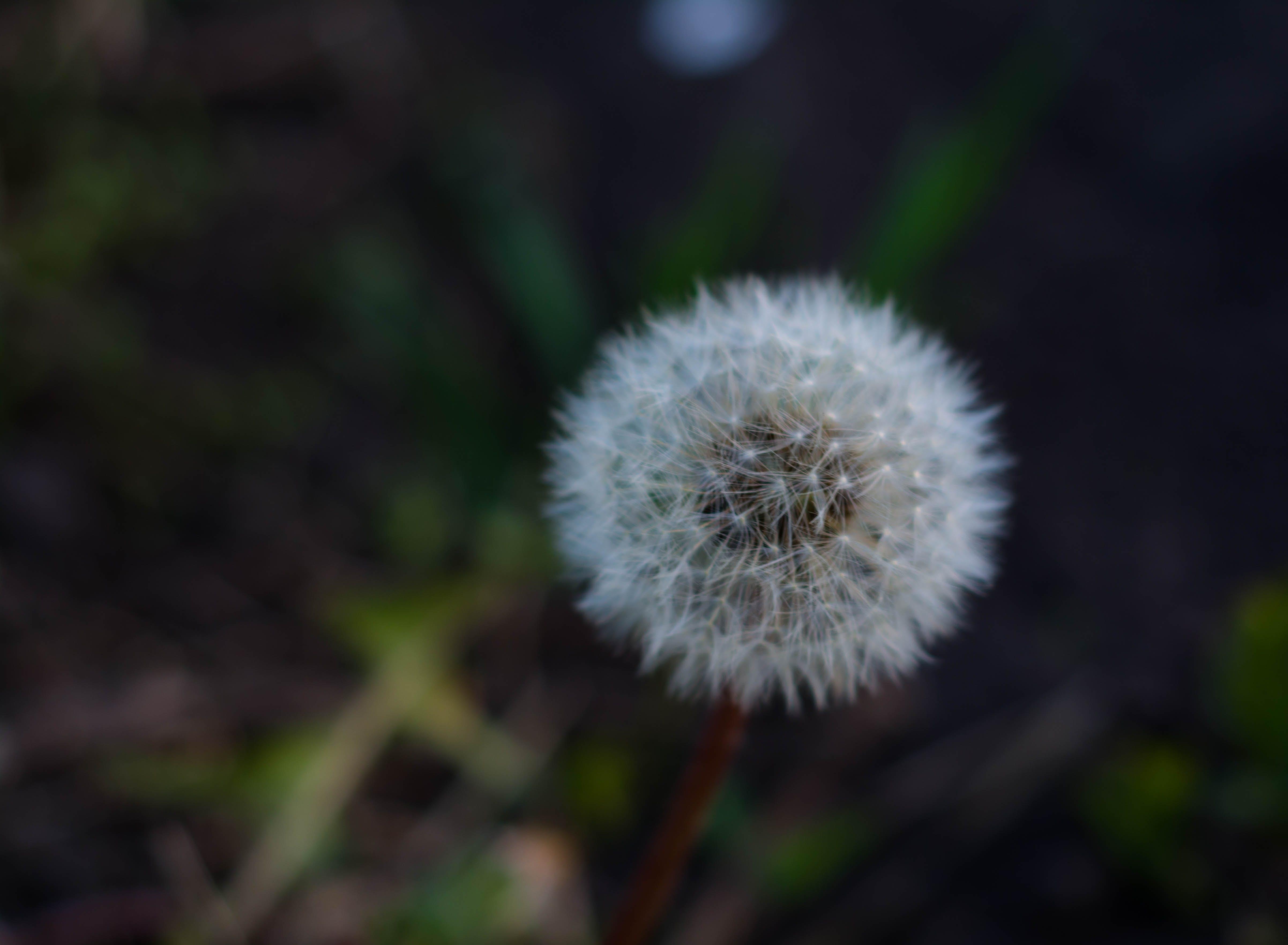 Kostnadsfri bild av blomma, grön, maskros, natur
