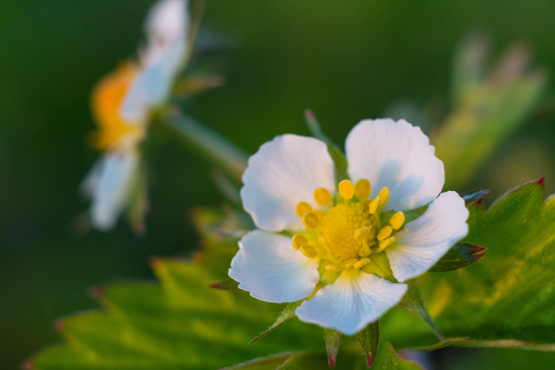 Kostnadsfri bild av blomma, grön, jordgubbe, makro
