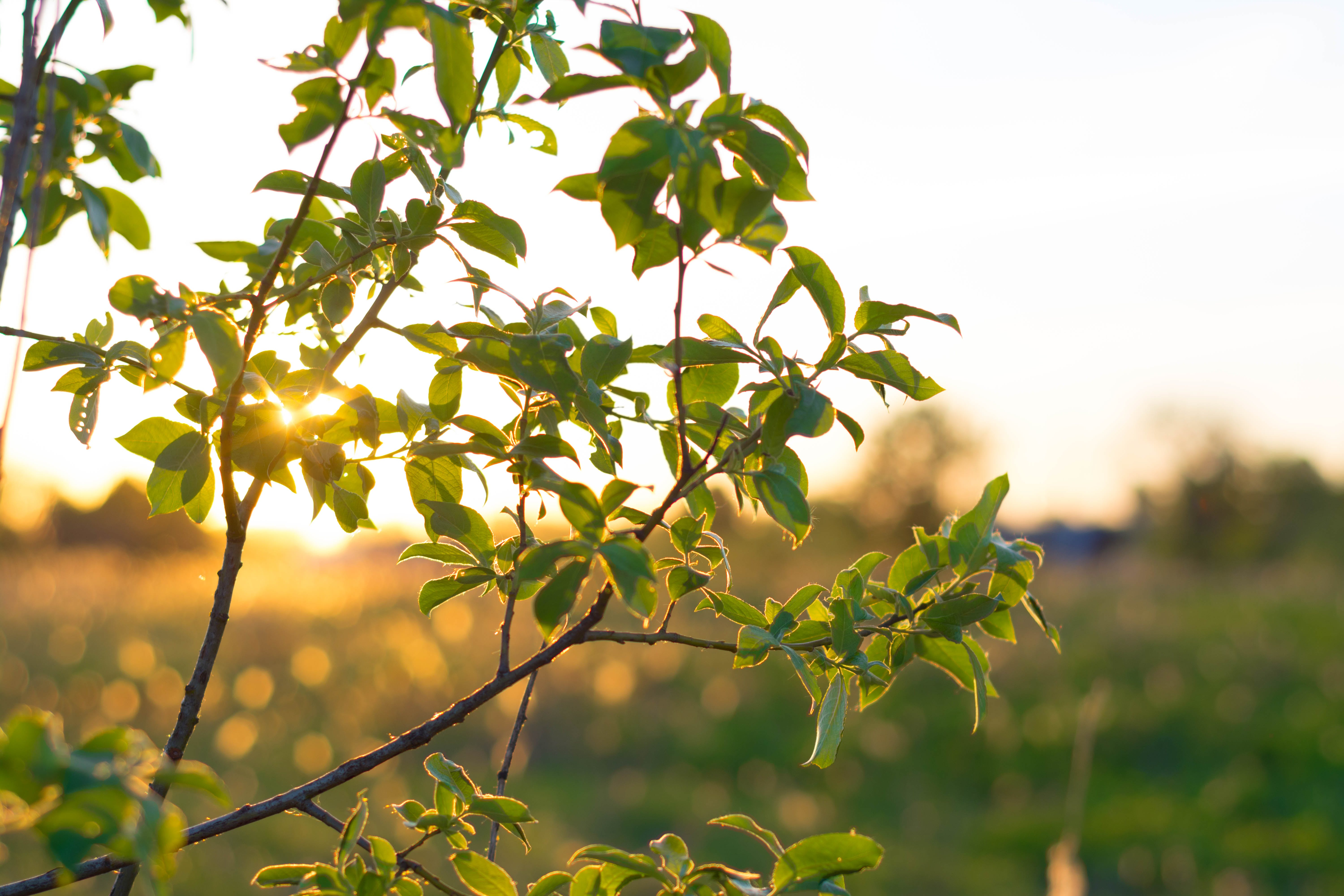 Free stock photo of branch, green, nature, sunset