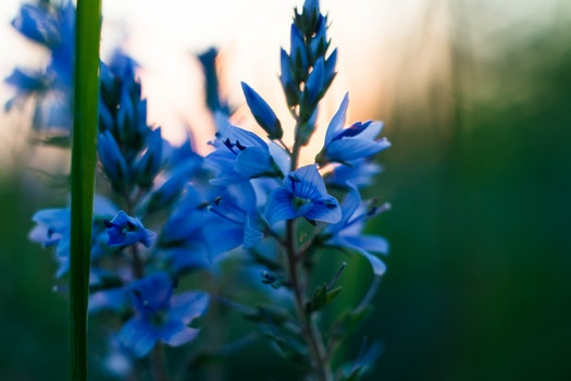 Kostenloses Stock Foto zu natur, blumen, blauen blüten