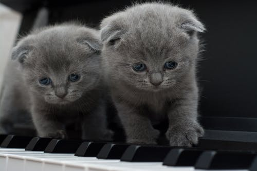 Two Gray Persian Kittens on Black Keyboard