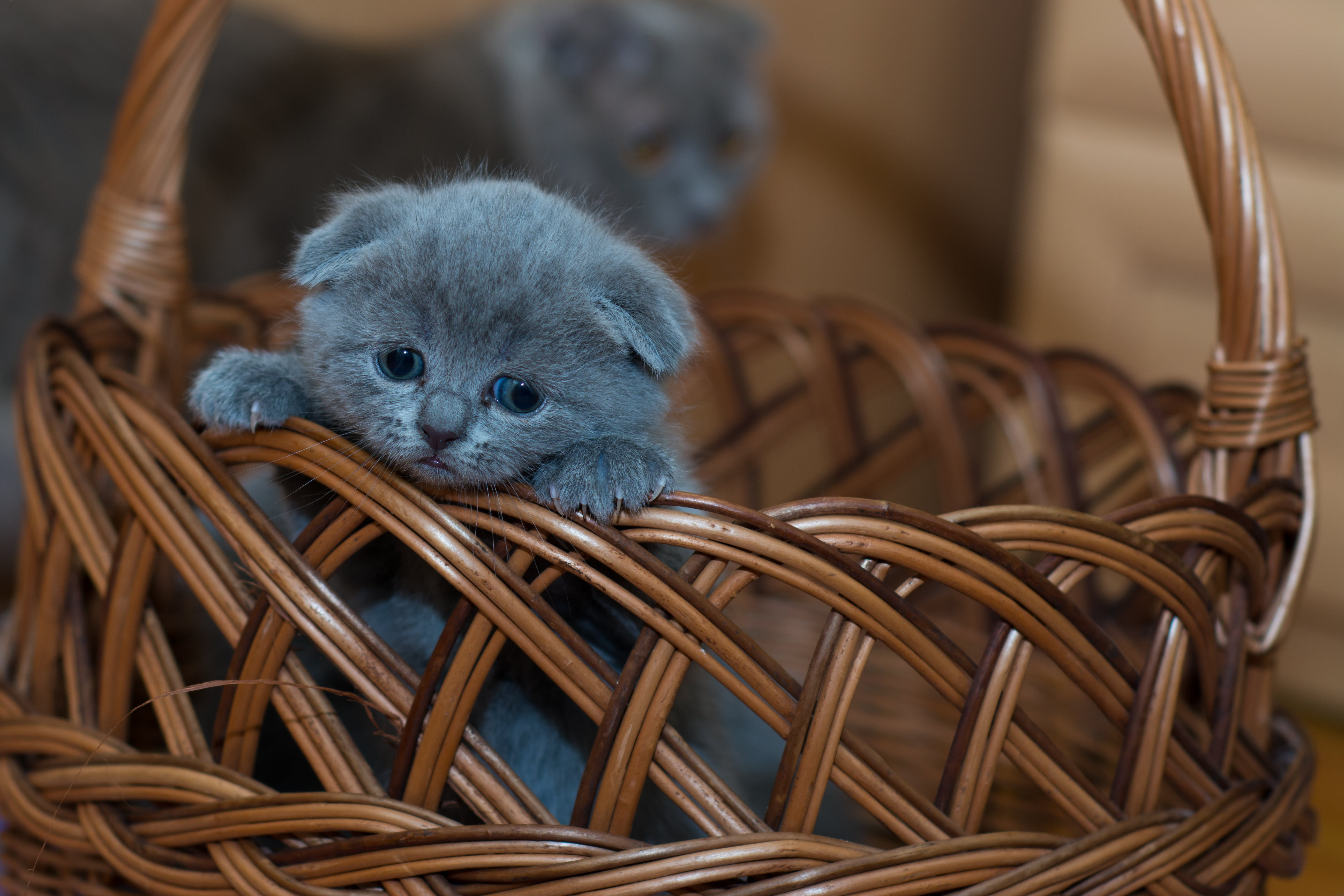 Russian Blue Kitten on Brown Woven Basket