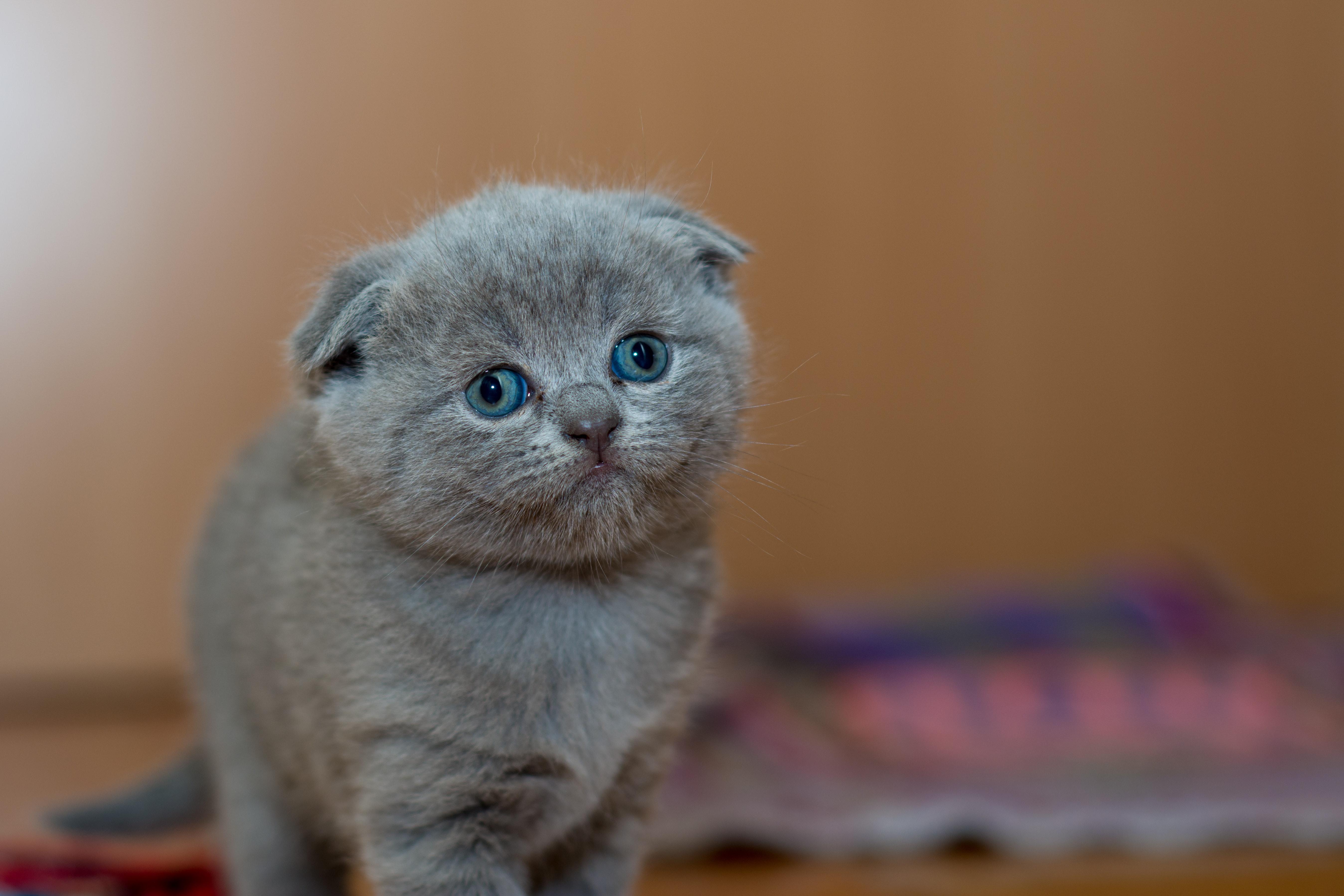 Grey Fur Kitten Free Stock Photo