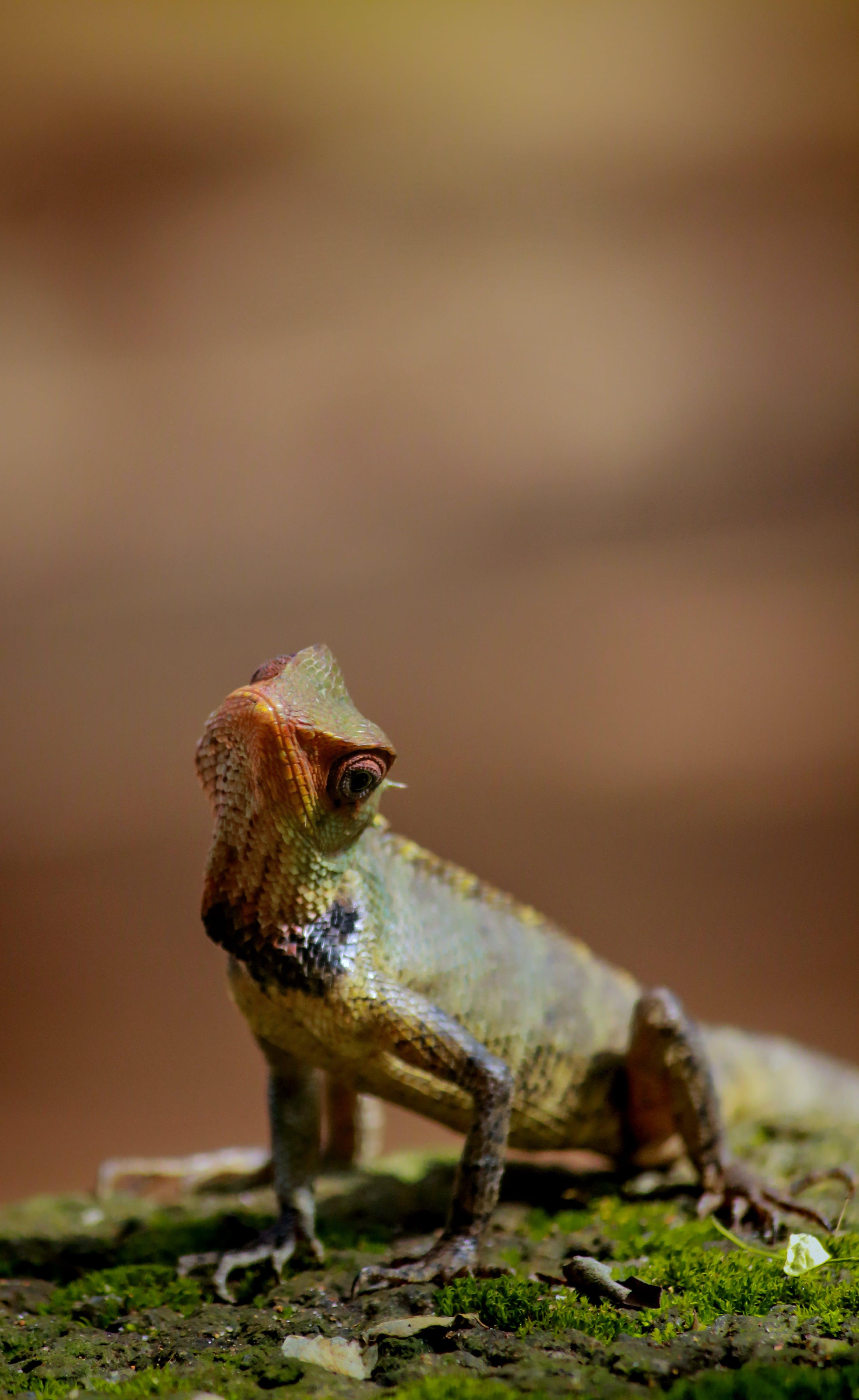 Free stock photo of animal, animal world, brown, chameleon