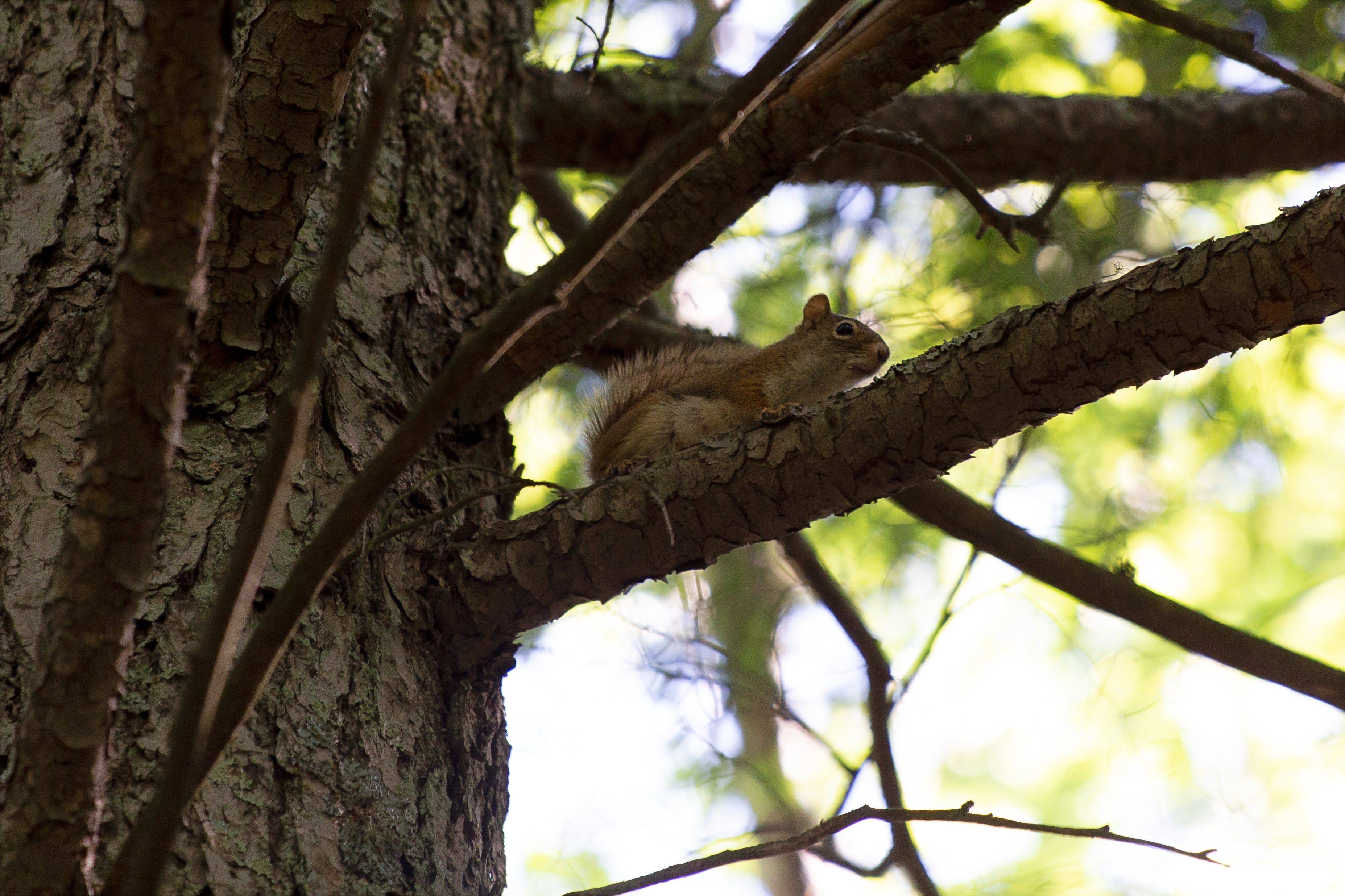 Free stock photo of animals, nature, squirrel, summer