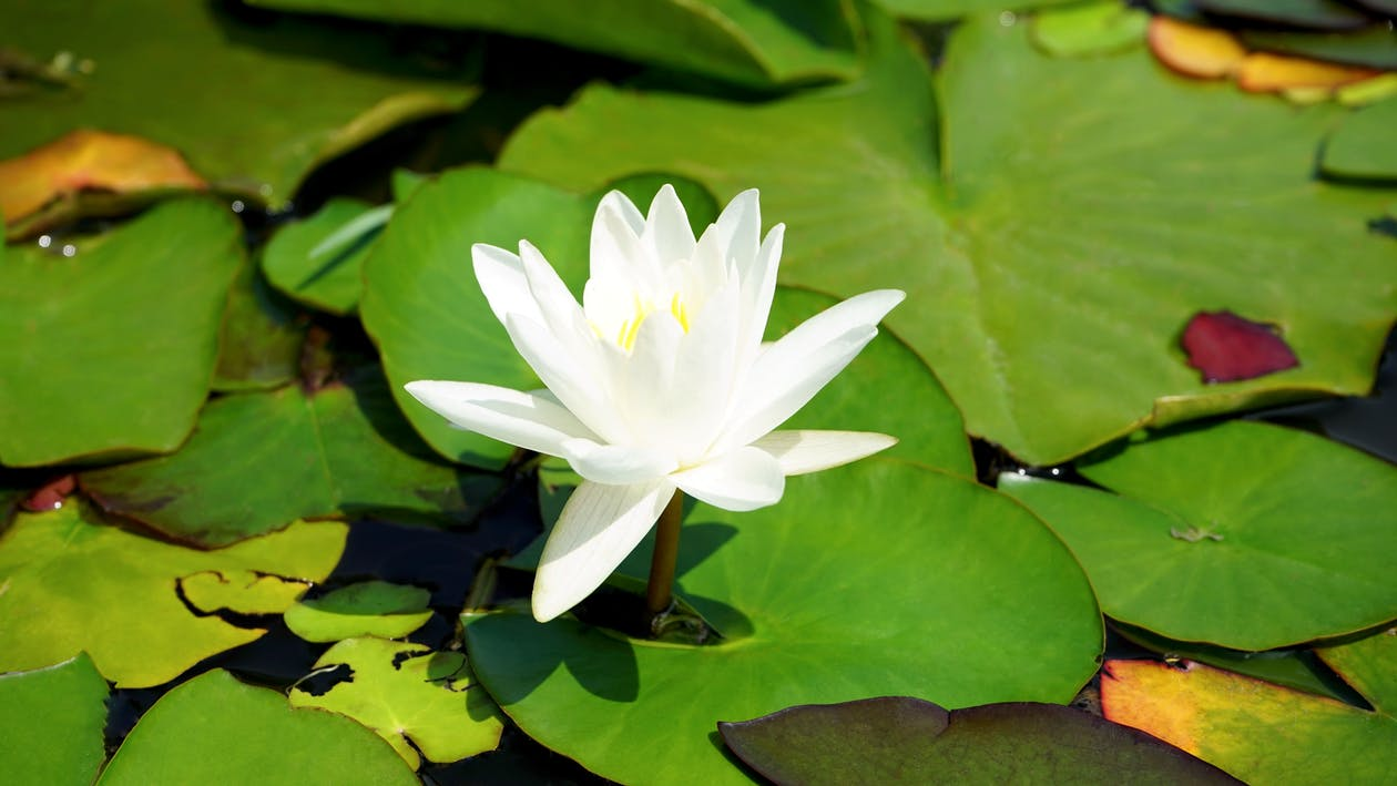 White Water Lily Flower in Bloom