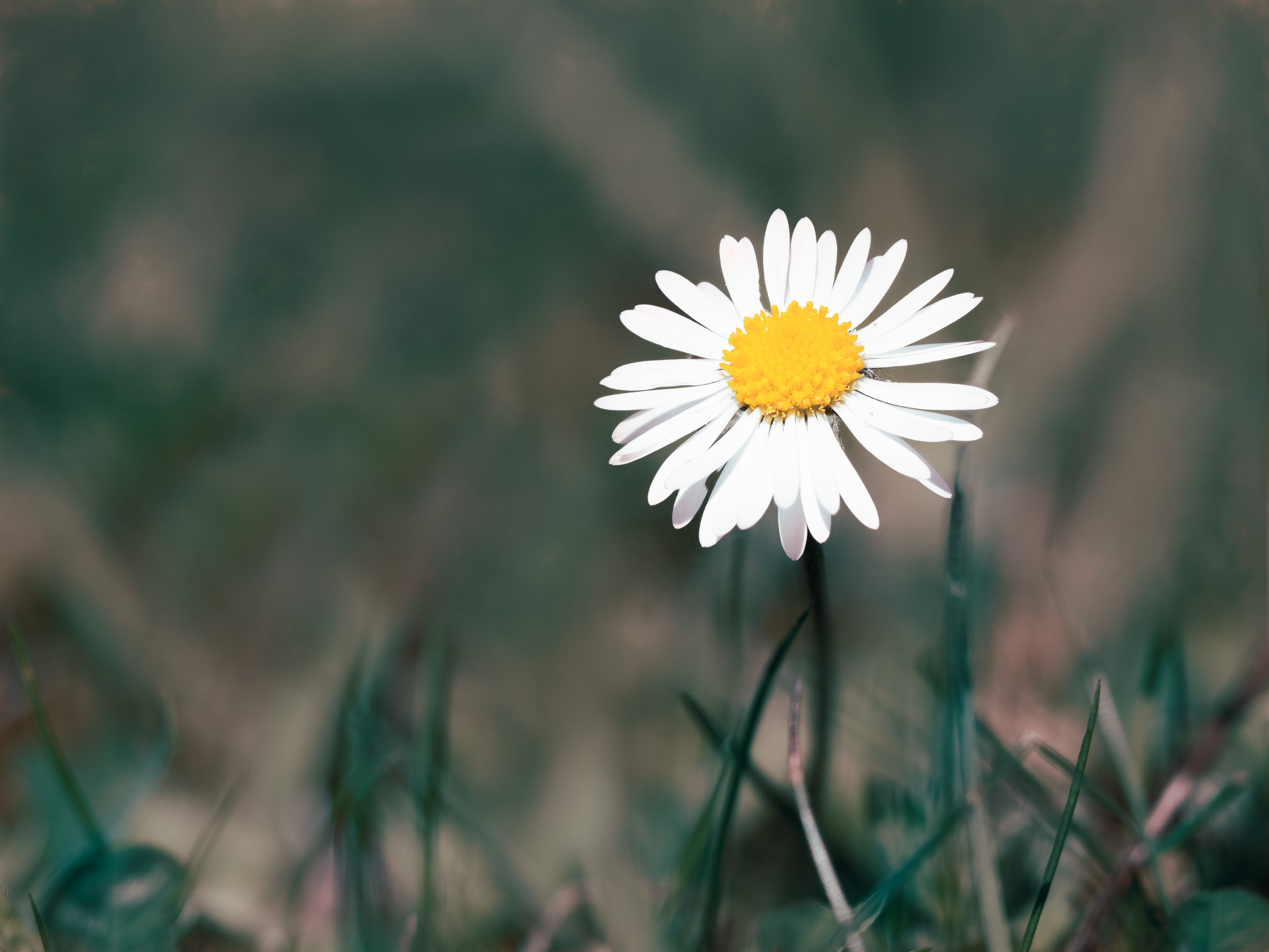 Free stock photo of daisy, flora, flower, grass