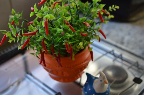 Chilli Pepper on Pot
