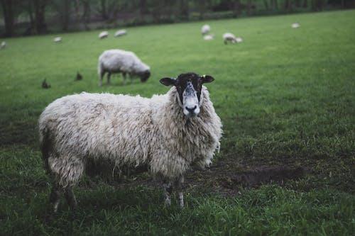 Ảnh lưu trữ miễn phí về cánh đồng, chăn nuôi, cừu, cừu trắng