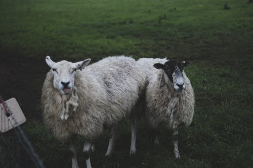 Two White Sheep Standing on Grass