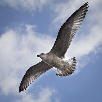 Free stock photo of bird, flying, seagull