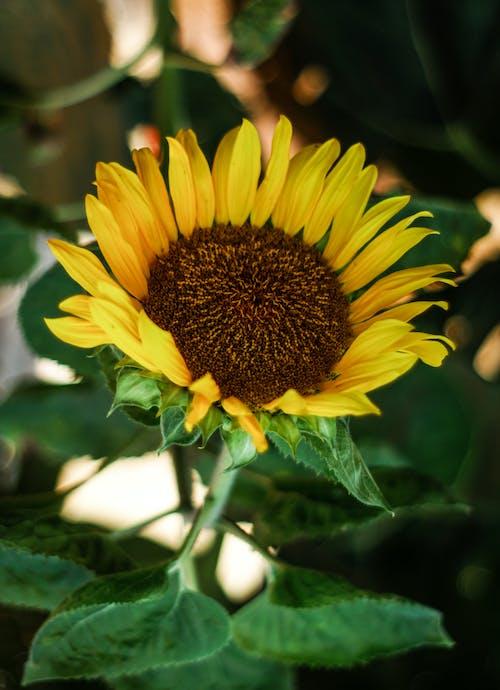 Foto d'estoc gratuïta de flor, gira-sol, groc, natura