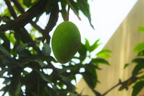 คลังภาพถ่ายฟรี ของ น่ากิน, ผลไม้, ผลไม้สีเขียว, มะม่วง