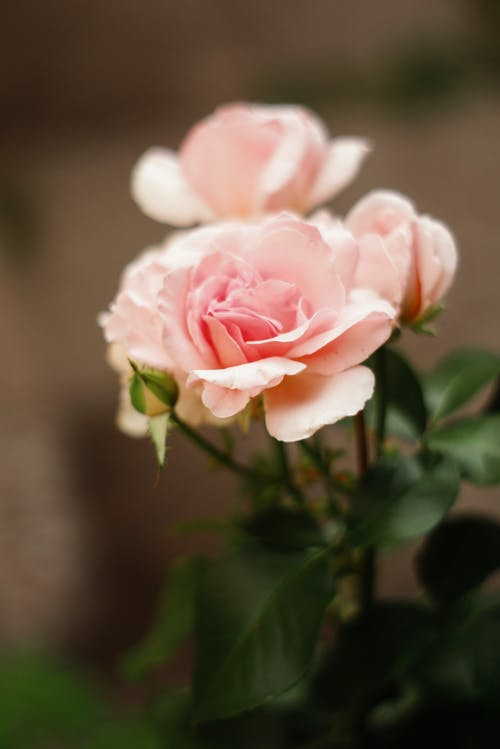 Foto d'estoc gratuïta de flor, flor de roser, flors boniques, natura