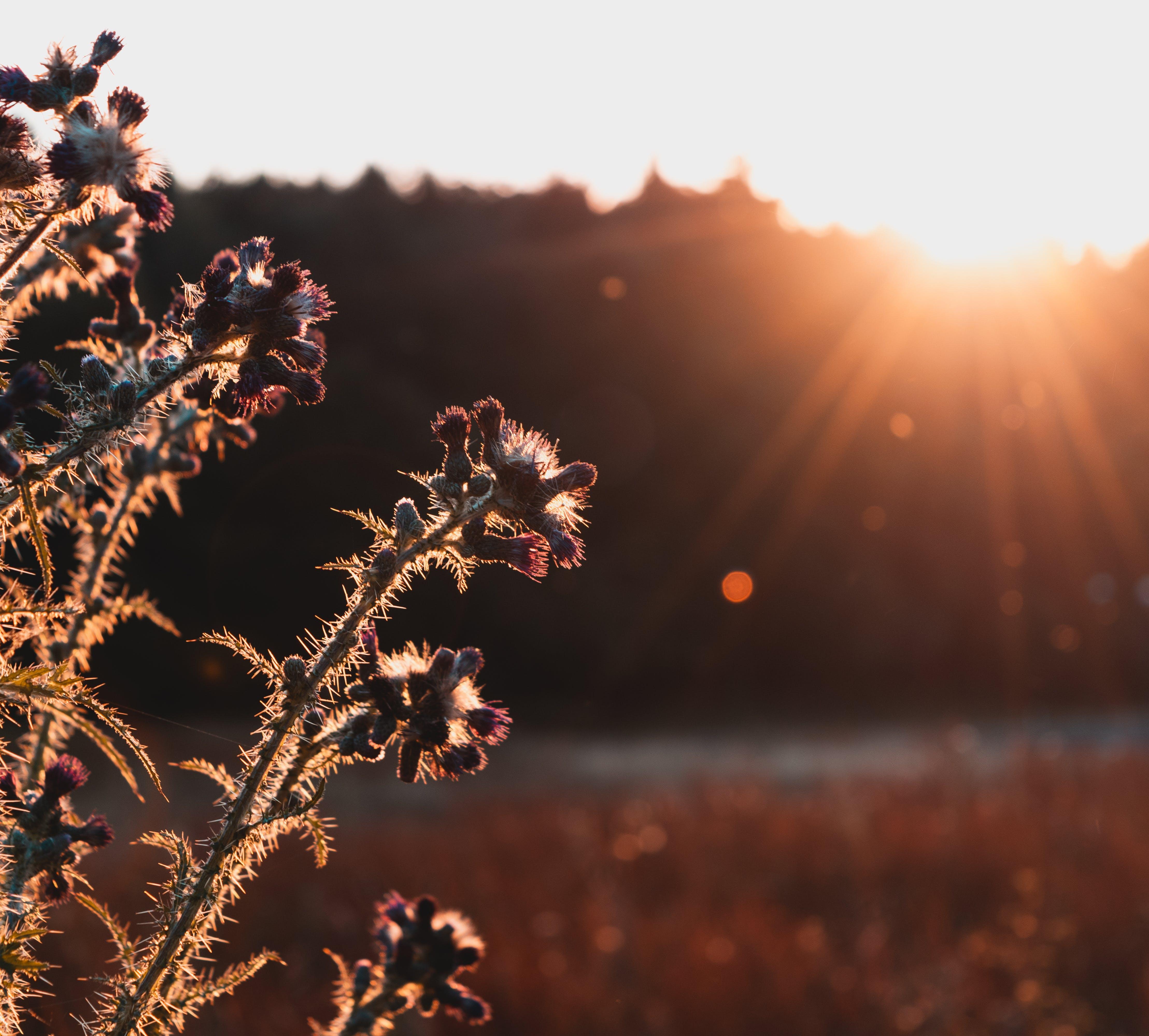 คลังภาพถ่ายฟรี ของ ชั่วโมงทอง, ดวงอาทิตย์, ดอกธิสเซิล, ตะวันลับฟ้า